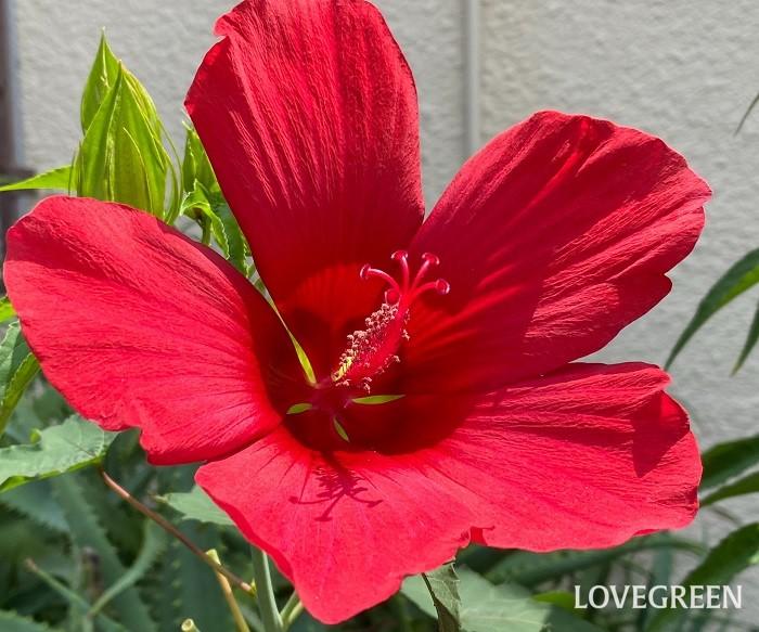 モミジアオイは7月~9月に開花する、草丈が2m近くになる大型宿根草。花は一日花で、朝に開いた花は夕方にはしぼみますが、次から次へとたくさんの花が開花します。花色は赤の他、白もあります。
