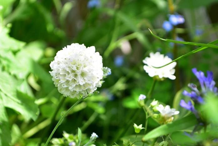 サクシセラ・フロステッドパールズは、マツムシソウの仲間の耐寒性のある宿根草です。花は小さな球状の花が夏から秋まで長くたくさん開花します。サクシセラ・フロステッドパールズは暑さにも強く、真夏でも休みなく開花します。生長丈は60~80cm、環境によっては1m近くになります。横幅も50cm以上になるので、広い空間や花壇の後方に植栽すると見栄えがします。