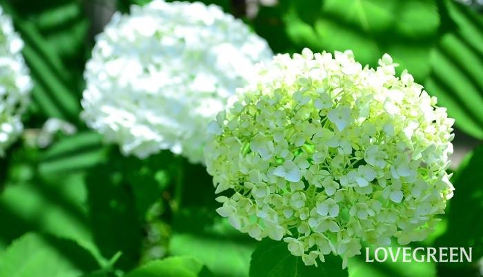 6月の花 アナベル
