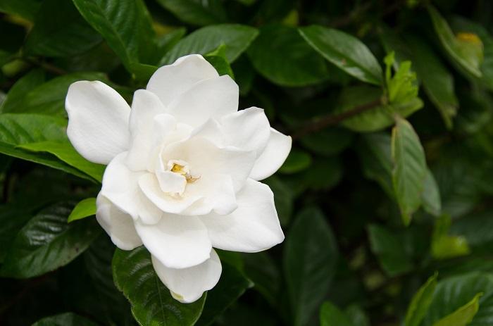 クチナシの花の香りは特に夜になると強くなると言われています。初夏の夜に、意識を奪われるほどの強い香りを感じて辺りを見回してみるとクチナシが咲いていた、というようなことはありませんか。