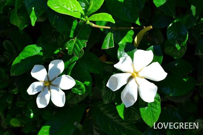 6月の花 クチナシ