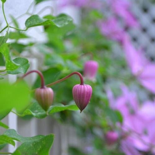 ヴィオルナ系のクレマチスのつぼみ  お尻(下部分)が割れて開花します。
