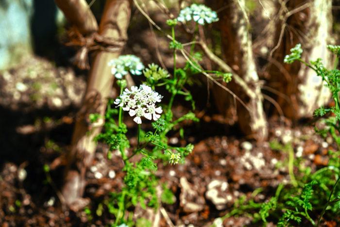 ラベンダー、ローズマリーなどのハーブや、最近植えたレースフラワーがぐんぐん生長。