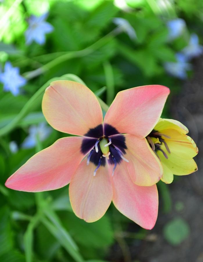 アニカは花びらの外側と内側の色が違い、朝と昼ではまったく違う表情を見せてくれます。