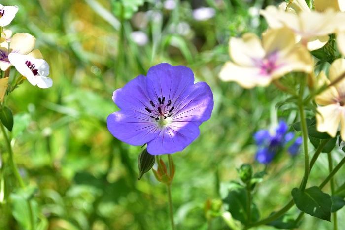 ゲラニウムは、別名フウロソウとも呼ばれるフウロソウ科の宿根草。春から初夏に開花します。今回は背丈が低いグループに入れましたが、品種によっては高性のものもあります。品種によって丈が違うので、プランツタグに書かれている丈を確かめてから、花壇に植える位置を決めましょう。  年々株が見事になり、たくさんの花が開花している様子は見事です。ナチュラルな雰囲気が好きな方に人気です。