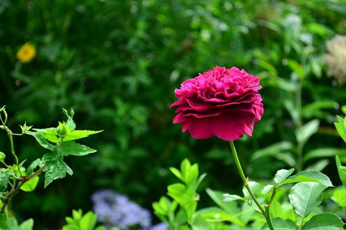バラを上手に育て、きれいに花を咲かせるには日々のお手入れが大切です。ポイントをご紹介します。