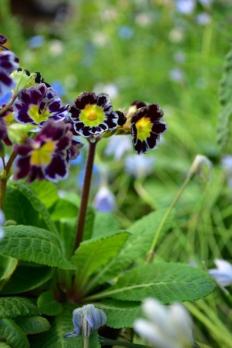 プリムラは寒さに強く、花の種類も豊富で、冬から春の花壇の定番の草花です。特にここ最近、色合いが絶妙なニュアンスカラーのプリムラが春の園芸店で目を引きます。プリムラは、植えてから株が広がるタイプの草花ではありません。隣の植物との間隔はあけずに植えるのがおすすめ。