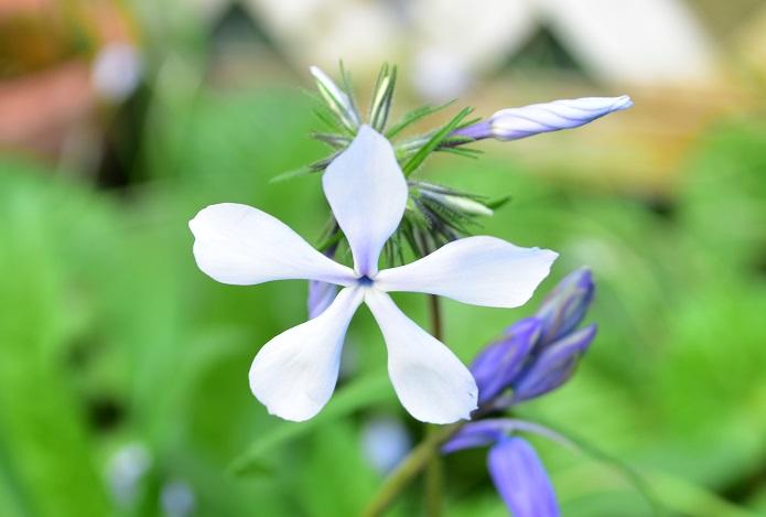 宿根フロックスは、品種によって春に咲くものと夏に咲くものがあります。写真は、ホワイトパフュームという品種です。冬の間は地上部分が完全になくなりますが、春になると茎が急に伸びてきて花が開花します。その他、這うように生長するタイプもあります。どちらも花壇の前側に植えると素敵です。