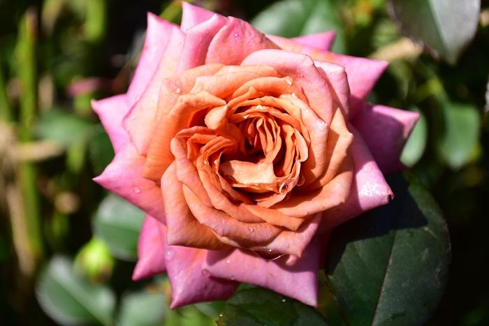 バラはヨーロッパからアジアまで北半球に広く分布する植物です。その多くは落葉低木ですが、中には常緑や半落葉のものなどがあります。