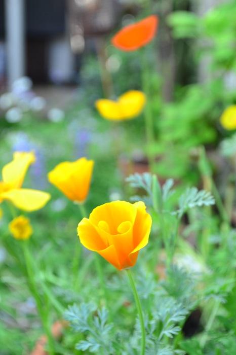 カリフォルニアポピーは、春から初夏に咲く一年草です。オレンジがオリジナルの色ですが、最近は赤、オレンジ、アプリコット、クリーム色、ピンクなど色もとても豊富。咲き方も一重から八重咲種まであります。繊細そうに見えますが性質はとても強く、ワイルドフラワーのミックスの種にもよく入っています。カリフォルニアポピーは、日が昇ると太陽に向かって開き、日没とともに閉じる性質で、お日様に向かってキラキラと咲く姿はとても美しい光景です。