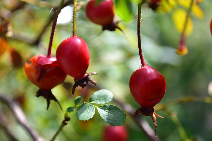 ノイバラなどは花がらを摘み取らずにそのままにしておけば、秋に小さな真赤な実が楽しめます。