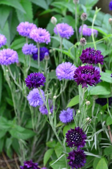 ヤグルマギクは、キク科の一年草。花びらの形は矢車に似ていて放射状に広がっています。ヤグルマギクの花色は白、青、ピンク、紫、ブラックなどがあります。ヤグルマギクの丈は1m位まで生長する高性から矮性種まで様々です。種類にあわせて、花壇の植え付け位置を決めましょう。