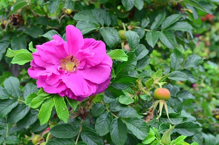 ワイルドローズとは言葉通り原種のバラを指します。  ワイルドローズは日本や中国にも自生種があります。ハマナスやサンショウバラ、ナニワノイバラなどがワイルドローズです。