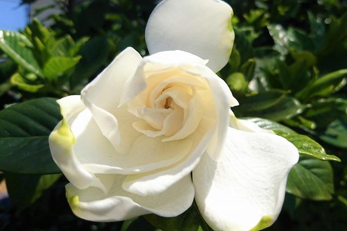 植物名:クチナシ 学名:Gardenia jasminoides 科名:アカネ科 属名:クチナシ属 分類:常緑低木 特徴 クチナシは香りの良い花を咲かせることで有名な常緑低木です。日本では静岡以西に、世界的にはインドシナの方まで自生しています。  クチナシは光沢のある濃いグリーンの葉を持ち、花色は白です。  クチナシの種類は、一重咲きから変種の八重咲きになるヤエクチナシ、花のサイズが小さなコクチナシ、コクチナシの八重咲きなどがあります。  秋に熟す実は古来より染料として利用されてきました。この実が熟しても裂けないので「口無し」、転じて「クチナシ」になったと言われています。