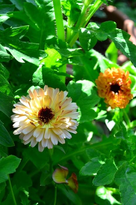 花びらがキラキラと艶のある黄色やオレンジ色の草花、カレンジュラ。性質が強いので育てやすく、開花期間も長いので、冬から春の花壇によく使われています。