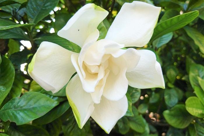 クチナシは香りの良い花を咲かせる常緑低木です。関東以西であれば庭に植えて生垣にもできます。庭植えでも鉢植えでも育てやすいクチナシを自宅で育てましょう。  クチナシの植え付け、用土 クチナシの植え付けは真夏と真冬を避けた、春か秋の気候のよい時に行います。  クチナシは通気性、保水性が高く、肥沃な土壌を好みます。植え付け前に腐葉土をたっぷりとすき込むなどして、肥沃な土壌を作りましょう。  鉢植えのクチナシは市販の培養土で問題ありません。  クチナシの水やり 根付いてからのクチナシは特に水やりの必要はありません。降雨に任せます。夏期など乾燥が数日続いたような時は様子をみて株元に水やりをします。その際は気温が上がる日中を避けて早朝に与えるようにしましょう。  鉢植えのクチナシは表土が乾いて白っぽくなったら、鉢底から水が流れ出てくるくらい、たっぷりと水やりします。  クチナシの肥料 クチナシは過肥にすると病害虫の被害にあいやすくなります。肥料は控えめに管理しましょう。花が終わった後のお礼肥として緩効性肥料を適量与えます。  クチナシがあいやすい病害虫の被害 すす病 日当たり、風通しが悪いと発生しやすくなります。葉がすすを被ったように黒ずんでくるのでわかります。  被害にあった葉は除去し、混み合った枝を整理するなどして、採光と通気性の確保を心がけましょう。被害がひどい場合は薬剤を散布します。  オオスカシバの幼虫 クチナシがもっとも被害にあいやすいのがオオスカシバの幼虫です。  クチナシの葉に虫食いのあとが見られたら、オオスカシバの仕業かもしれません。葉と同じような鮮やかなグリーンをしているので、最初は見つけ辛いかもしれません。  早めに探し出して捕殺をしないと、あっという間に丸坊主にされてしまいます。被害がひどい場合は薬剤を散布します。