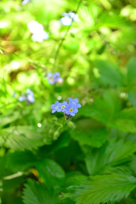 ワスレナグサは、一度植えるとこぼれ種でも育つほど性質は強健です。最近は品種もいろいろあり、一般的な水色の他、白やピンクもあります。米粒サイズの小さな青い花が無数に咲いている姿は見事です。環境に合うと、翌年から花壇のあちこちから小さな青い花が咲くかもしれません。