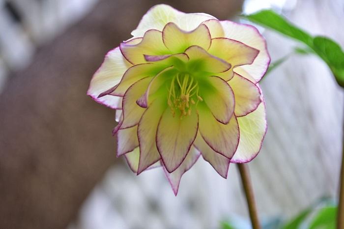 クリスマスローズは冬の色の少ない時期の12月から4月が花の時期の常緑多年草です。とにかく品種が豊富なクリスマスローズ。品種として流通しているものから実生のものまで、様々な色あいや咲き方があってマニアも多い植物です。クリスマスローズは系統によって花が咲き始める時期が違います。開花時期の違う複数の品種を組み合わせると、とても長い期間、花壇の彩りとして活躍してくれます。