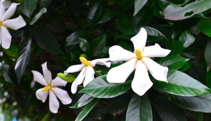 クチナシ(ガーデニア・梔子)の花言葉