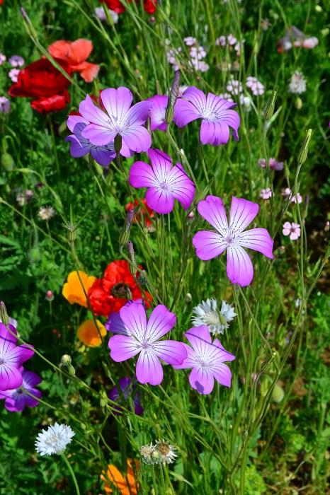 アグロステンマは、4月~6月ごろ開花する一年草です。地植えにすると1メートル近くになります。茎は繊細で風にゆらゆらと揺れながら咲くので弱そうに見えますが、性質は丈夫です。