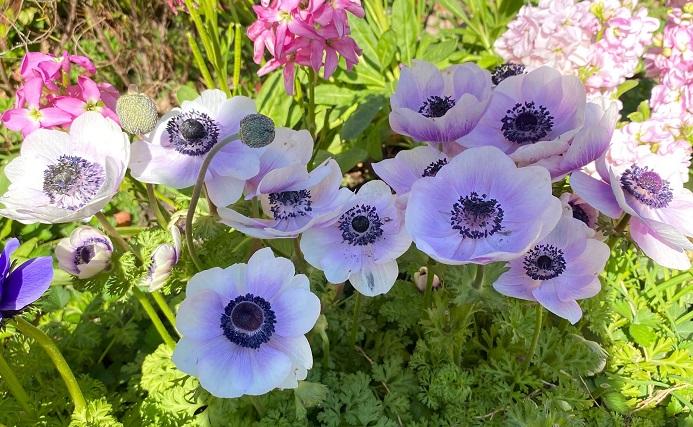 球根の花の中には、花が開き始めてからの開化期間が短い花もありますが、アネモネとラナンキュラスの球根苗の良いところは、開花期間が長いところ。春まで次々と花が出てくるので、春の花壇におすすめです。本格的に花が咲くのは3月ごろからですが、最近では正月明けくらいから苗が流通しています。