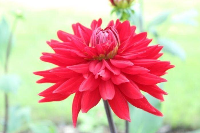 八重咲きです。花びらは細く先が尖り、外巻きに反転しています。