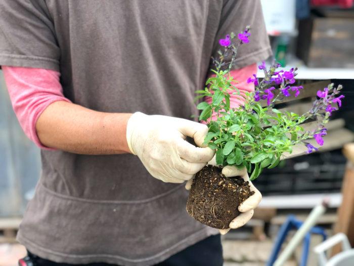 3.チェリーセージの下の方の黄色い葉っぱや、茶色く溶けているような葉っぱを取り除きます。苗は植える前に傷んだ葉っぱを取って、綺麗に手入れしてから植えるようにしましょう。