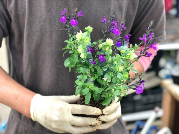 4.植えた瞬間から馴染んでいるように見えるよう、植える前にあらかじめオレガノとチェリーセージの苗を抱き合わせておきます。