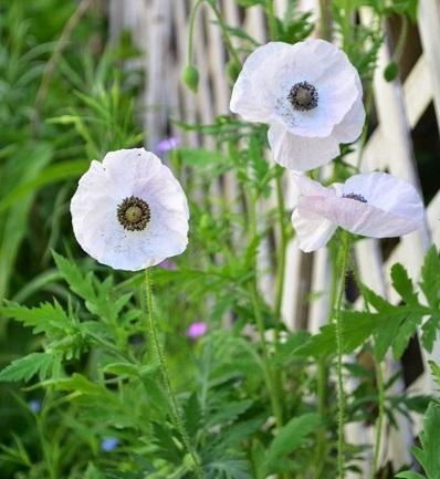 ポピーはいくつかの種類があって、種類によって早春から咲きだすもの、晩春から咲きだすものなどがあります。園芸店で一番手に入りやすいのは「アイスランドポピー」で、早春から咲き始めるポピーです。写真は「シャーレーポピー」  ポピーは、つぼみの時はうなだれたようにしているのに、花の開花直前になると花首が起きて開花します。細い茎ながら性質は強く、花壇に植えるとナチュラルな雰囲気を演出してくれます。