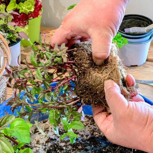 1.まずはそれぞれの苗の下準備をしておく。ハーブ各種は、生命力が強いので根を崩すようにして分割します。太めの根はカットしてもOK。