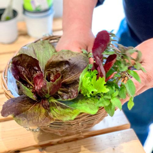 4.メインのレタス苗を置く位置を決めたら、葉色のバランスを見ながら、苗を分けたハーブや野菜苗を組み合せて寄せ植えします。ハンギングの手前から植えていくとバランスが決まりやすいですよ。ミント類は横に広がるので、ハンギングの縁に沿って植えるのがおすすめです。