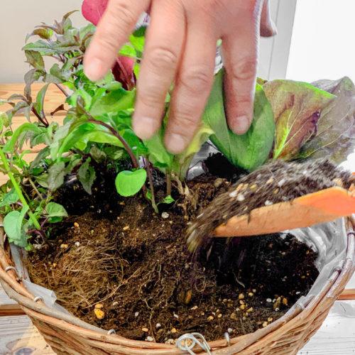 5.半分まで植えたら、後ろからしっかり培養土を継ぎ足しましょう。水やりをした際に土が下に沈むため、土の量は多めに入れるのがポイント。