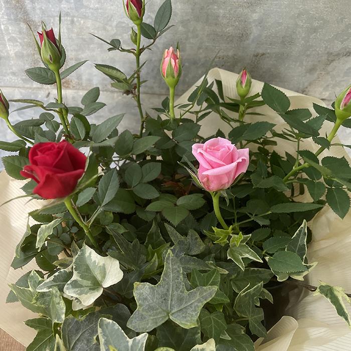 ミニバラ 鉢植え