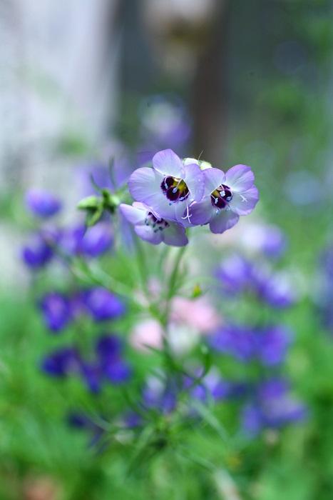 ギリアは春から初夏に咲く一年草の草花。風にそよそよと揺れるように咲く姿が野草のような装いです。ギリアは、品種によって花の形がまったく違います。写真はギリア・トリコロール。