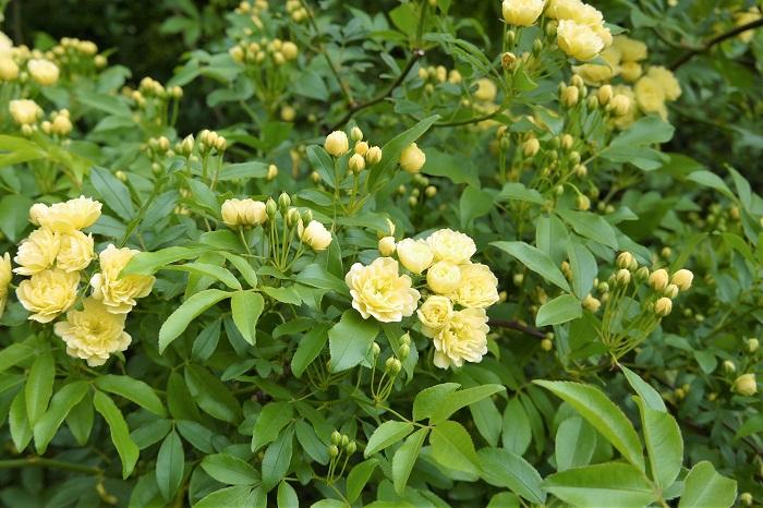 クライミングローズとはつる性のバラを指します。つる性とは言っても実際につるになるわけではなく、枝を長く無尽蔵に伸ばしていく樹形です。ブッシュローズのように木立にはなりませんが、クレマチスなどのように他の植物に絡みついて生長するわけでもありません。