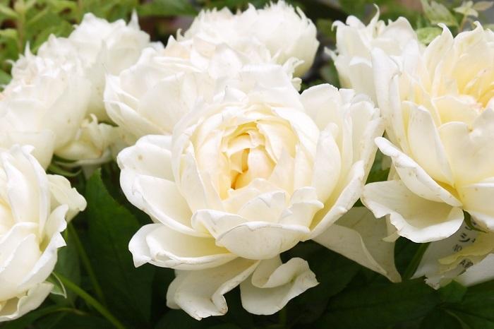 バラの鉢植えは1~2年に1度は植え替えを行うようにしましょう。植え替えを行わないと、鉢の中で根が詰まり、生長の妨げになります。  バラの植え替えは冬の休眠期に行うのがベストです。バラの植え替えは1回り程度大きな鉢に植え替えます。用土は市販のバラ用培養土で問題ありません。  植え替え後は鉢底から流れ出てくるくらい、たっぷりと水やりを行いましょう。