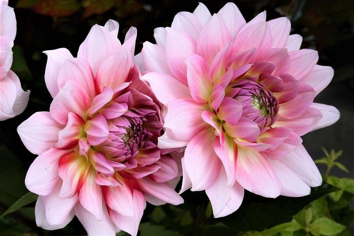 ダリアの開花期は初夏から秋です。真夏は花が少し休みますが、長い期間花を楽しむことができます。ダリアは大きさ、花色、咲き方が非常に豊富なので、初夏から秋の庭を鮮やかに彩ってくれます。
