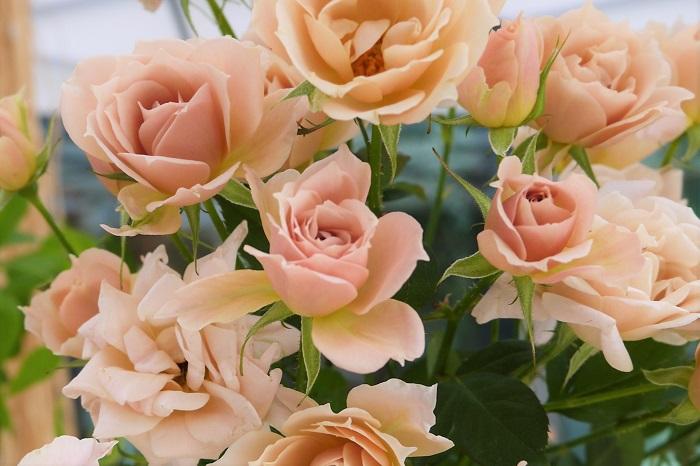"""バラは病害虫の被害にあいやすいと敬遠されがちですが、きちんと手入れをしていればそれほどではありません。ここでは主なバラの病害虫とその対処方法をご紹介します。  うどんこ病 葉や茎の表面が白い粉をかけたようになる病気です。そこから枝が弱っていき、花が咲かない原因となります。 見つけ次第剪定し、殺菌剤などで除去します。  黒点病(黒星病) 葉の表面にカビが生えたように黒い斑点が発生します。黒い斑点が発生した葉はやがて落葉して株自体が弱ってしまいます。見つけ次第除去し、殺菌剤を散布します。  落ちた葉をそのままにしておくと、株元の落葉が病原となり再度発生してしまうので、きれいに掃除を行いましょう。気になるようであれば土もすくって除去します。  <div class=""""posttype-post shortcode""""><div id=""""posts"""" class=""""default-posts""""><article><a href=""""https://lovegreen.net/pest/p48341/"""" class=""""clickable""""></a>     <div class=""""thumbnail"""" style=""""background-image:url(https://lovegreen.net/wp-content/uploads/2016/08/571ed87a012f7c820432602653b941d0.png);"""">         <a href=""""https://lovegreen.net/pest/p48341/""""></a>   </div>   <div class=""""top-post-ttl-extext"""">     <h2><a href=""""https://lovegreen.net/pest/p48341/"""">かかる前に予防したい。「黒星病」の原因と対策方法</a></h2>     <p><a href=""""https://lovegreen.net/pest/p48341/""""> 黒星病(くろぼしびょう)とは バラの主要病害です。「黒点病」とも呼ばれますが、正式名称は「黒星…</a></p>     <p class=""""top-post-name"""">LOVEGREEN編集部</p>     <time class=""""top-post-date"""" datetime=""""2016-08-23"""">2016.08.23</time>     <span class=""""post-cat""""><a href=""""https://lovegreen.net/pest/"""">害虫・病気</a></span>  </div> </article></div></div>  テッポウムシ 根元を確認し、細かい木くずが落ちていたらテッポウムシというゴマダラカミキリの幼虫の仕業です。放っておくと株全体を弱らせ枯死させてしまうので、早期に発見し捕殺します。"""