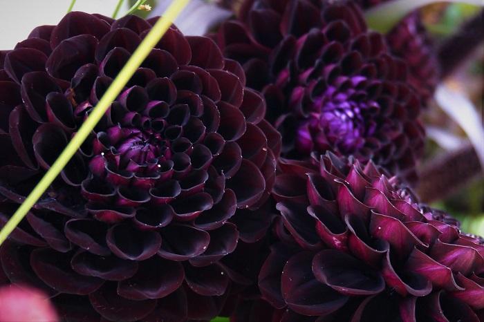 ダリアの花色はとにかく豊富です。青を除くほぼすべての色があるとも言われています。ダリアの品種は数えられないくらいあります。中でも人気のある品種をご紹介します。  パープルのダリア ラベンダーブルー ピンクと薄紫色の中間のような青味がかった色のダリアです。  アメジストオーブ ピンクがかった淡い紫色のダリアです。  ピンクのダリア ミッチャン 青味がかったピンクが印象的なポンポン咲きのダリアです。切り花での流通も多い品種です。  カレン 明るいピンクが印象的なスイレン咲きのダリアです。  赤のダリア 黒蝶 濃く深い赤のダリアです。大輪でインパクトがあります。切り花でも人気の品種です。  純愛の君 鮮やかな赤の中大輪のダリアです。庭植えにしても強健で育てやすい品種です。  オレンジのダリア ハミルトンジュニア 育てやすいことで人気のあるハミルトンジュニア。花は中輪で、鮮やかなオレンジ色をしています。  黄のダリア 希望 明るいレモンイエローの中輪のダリアです。  白のダリア シベリア オフホワイトのような白がきれいな中輪の品種です。切り花でも人気があります。  複色のダリア 影法師 花の中心部は深紅、外側にむかって白くなっていく、鮮やかな絞りの入った複色のダリアです。  ポートライトペアビューティー オレンジと白の複色が可愛らしいダリアです。強健で育てやすい品種です。