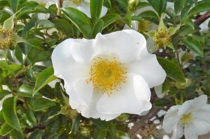 原種系のバラに多く見られる咲き方です。その名の通り、花びらが一重で雄しべや雌しべが見えます。ナニワノイバラなどがこの咲き方です。