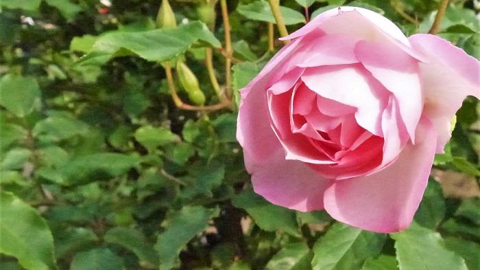 植物名:バラ 学名:Rosa 科名:バラ科 属名:バラ属 分類:落葉、常緑、半落葉の低木あるいはつる性木本 バラの特徴 バラはヨーロッパからアジアまで北半球に広く分布する植物です。その多くは落葉低木ですが、中には常緑や半落葉のものなどがあります。  バラの花の咲き方は八重咲きや一重咲き、大輪や小花をたくさん咲かせるタイプなど多様です。バラの花は香りがよいのも特徴で、花の美しさとあわせて香りも愛されてきました。  「バラは花の女王」と言ったのは古代ギリシャの詩人サッフォーです。サッフォーの時代から、バラは人々に愛されてきた、歴史ある花だということがわかります。