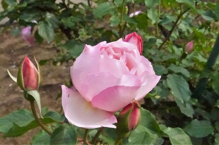 バラの剪定は大きく分けて年2回、夏と冬に行います。美しい花をたくさん楽しむために剪定は大切な作業です。夏と冬の剪定をそれぞれご紹介します。