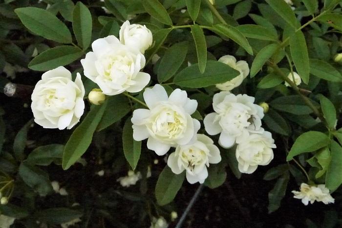 バラは過肥にすると病害虫の被害にあいやすくなります。花をたくさん咲かせたいからと言って、必要以上に肥料を与えないようにしましょう。  バラのお礼肥 四季咲き性のバラは、春の花が終わったあとにお礼肥を与えておくと、次の花が咲きやすくなります。市販の緩効性肥料が適しています。  一季咲きのオールドローズやワイルドローズには必要ありません。  バラの寒肥 すべてのバラに共通して与える肥料です。バラの寒肥は落葉期の12~2月に、骨粉と油かすを混ぜたものを与えます。翌春からの生長の為の肥料です。