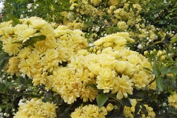 バラの水やりに特別なルールはありません。  鉢植えのバラは表土が乾いたら、鉢底から流れ出てくるまでたっぷりと水やりを行います。