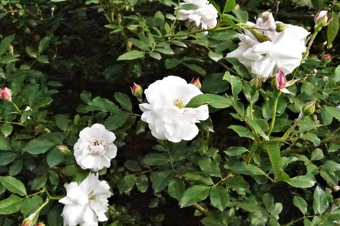 バラの苗木を買ってきたら、まずは植え付けです。