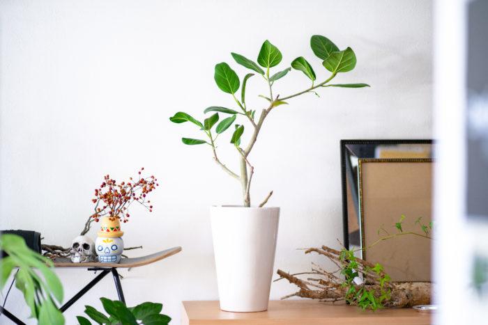 観葉植物初心者の方でも育てやすいフィカス・ベンガレンシス。部屋に日が入りにくても、休日などに日を当てればすくすく育ちます。  ホームセンターなどでも定番の観葉植物でよく出回っています。