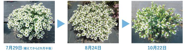 夏場の水切れにも比較的強く、農薬を使わなくても虫がつきにくいのも魅力。園芸ビギナーにもおすすめの品種です。花色は4色で、ブルー、ホワイト、ピンク系といずれも涼やかな色で玄関やお庭を彩ってくれます。