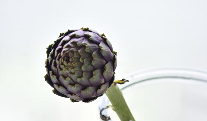 アーティチョークは切り花としても流通があります。ドライフラワーの素材としても人気です。アーティチョークは乾燥しても見た目が変わらないおもしろい自然の素材です。