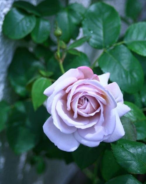 四季咲きとは、1年に複数回、花を咲かせる性質のことを言います。春の開花のあとの剪定をきちんと行うと、秋にまたたくさんのバラの花を楽しめます。モダンローズの多くが四季咲きです。