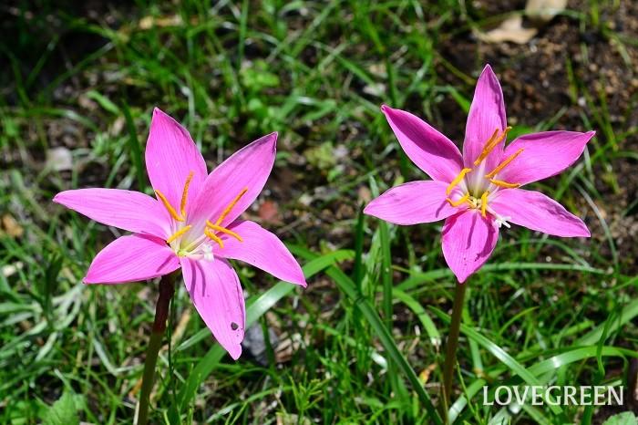 ゼフィランサス 6月の花